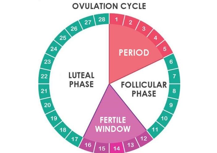ovulation cycle